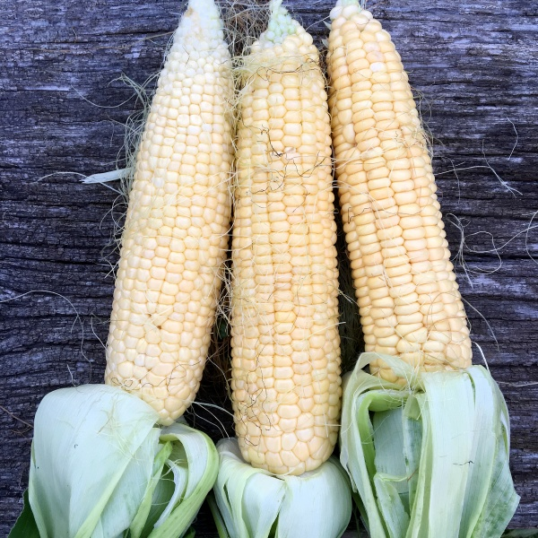 hairy fresh corn in cobs with