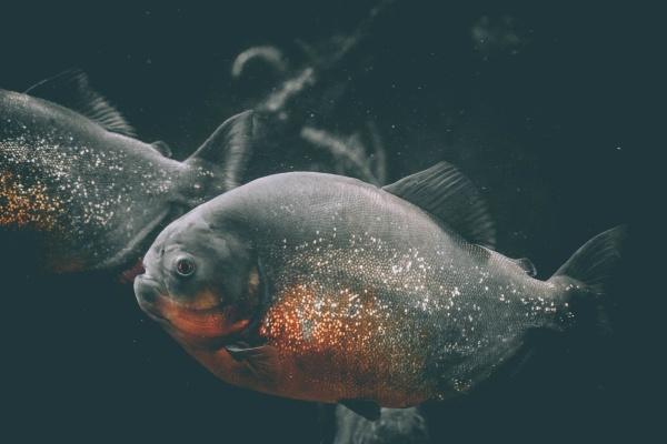 a hungry piranha in aquarium