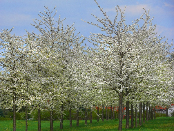 cherry blossom in hannover