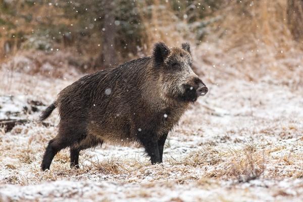 wild boar walking on meadow during