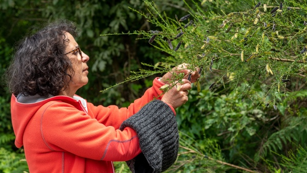 mature woman picking berries in hedge
