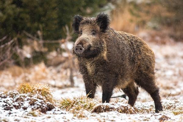 wild boar standing on meadow in