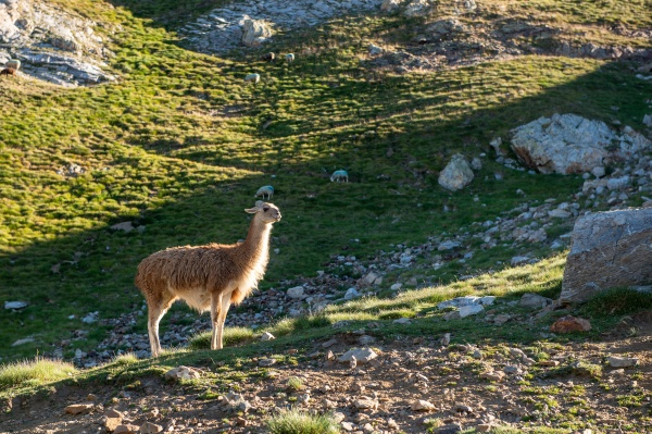 wild lama on the mountains french