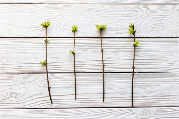 several spring twigs with blossoming leaves