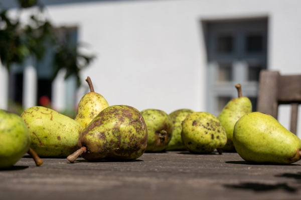 organic pears on the table outdoors