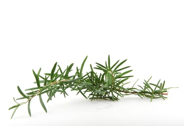 fresh rosemary herb on white background