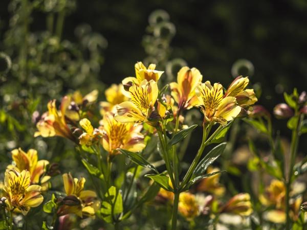 pretty alstroemeria peruvian lily flowers in
