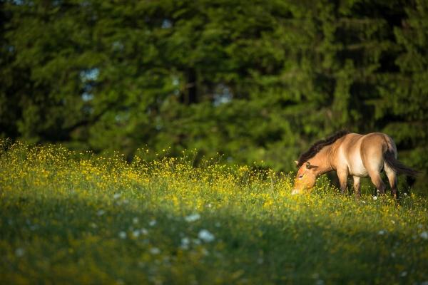 przewalski horse grazing on a lovely