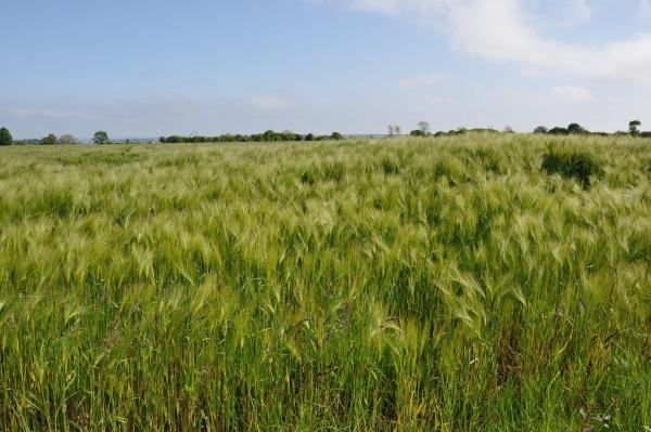 a field of barley in