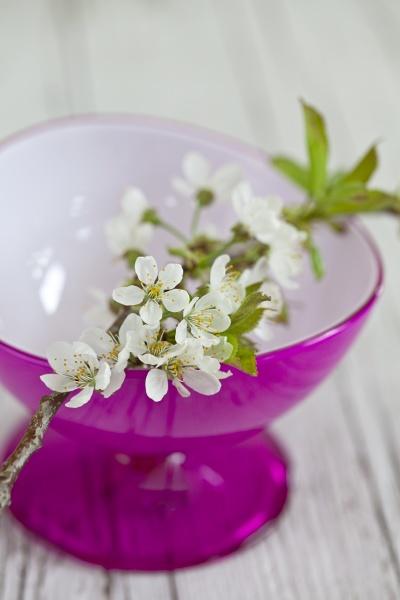 delicate white cherry blossom still life