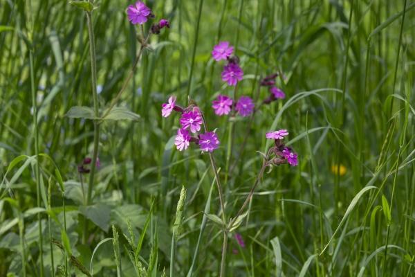 little pink flowers in green meadow
