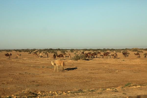 camels in sahara desert tunisia
