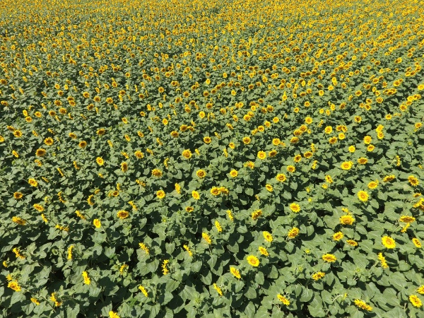 field of sunflowers top view