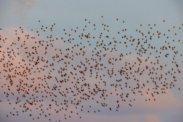flock of birds in evening