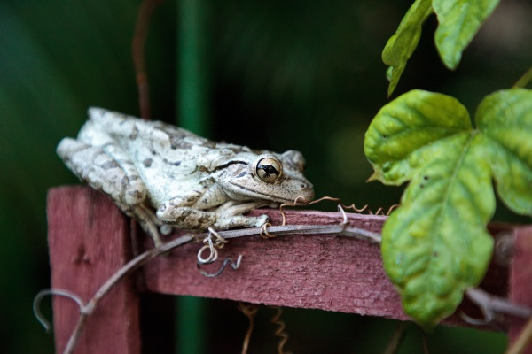 cuban tree frog osteopilus septentrionalis perches