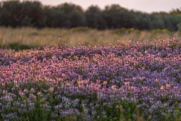 usa idaho picabo purple flowers in