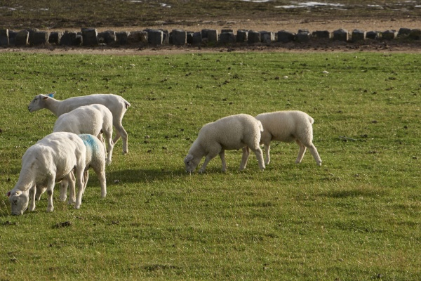 sheeps at keitum sylt isalnd