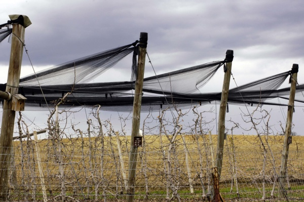 hail protection in wine growing