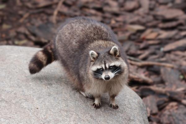 animal raccoon portrait