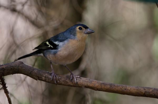 common chaffinch fringilla coelebs canariensis on