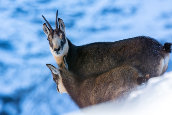 the little chamois with the mother