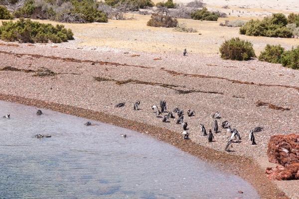 magellanic penguins punta tombo penguin colony