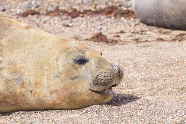 elephant seal on beach close up
