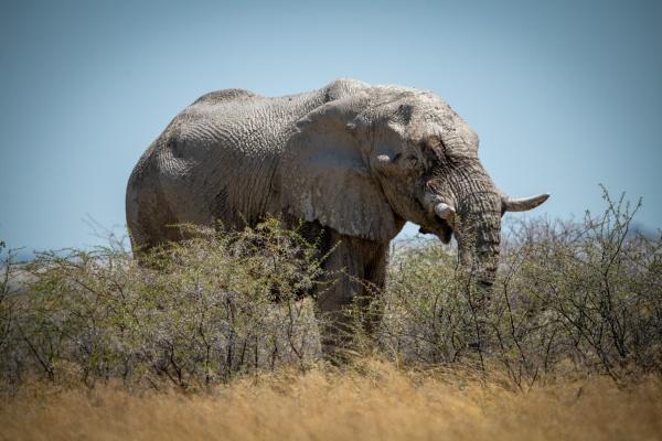 african bush elephant stands feeding on