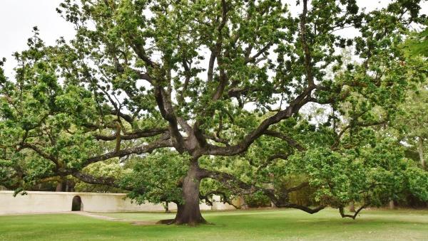 close up of the royal oak