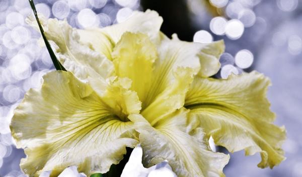 close up of a beautiful iris
