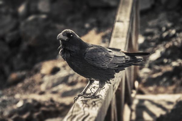 spain canary islands la palma raven