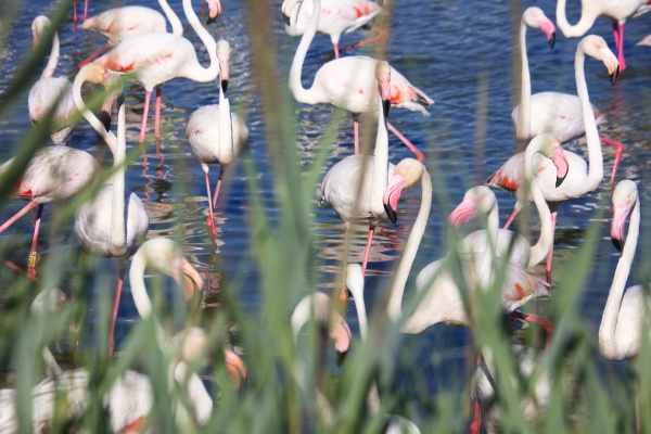 large group of greater flamingos phoenicopterus