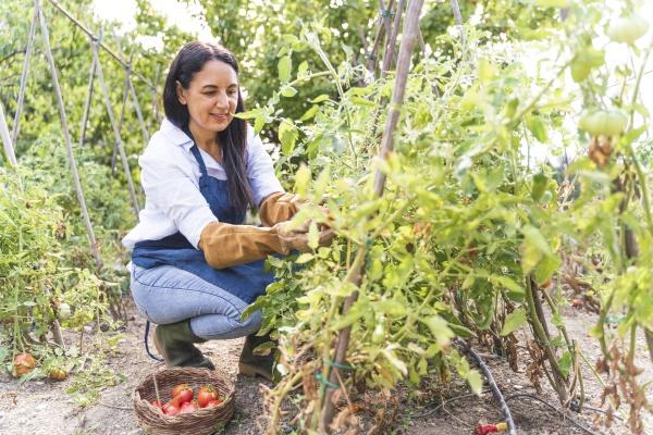 happy woman harvesting fresh organic tomatoes