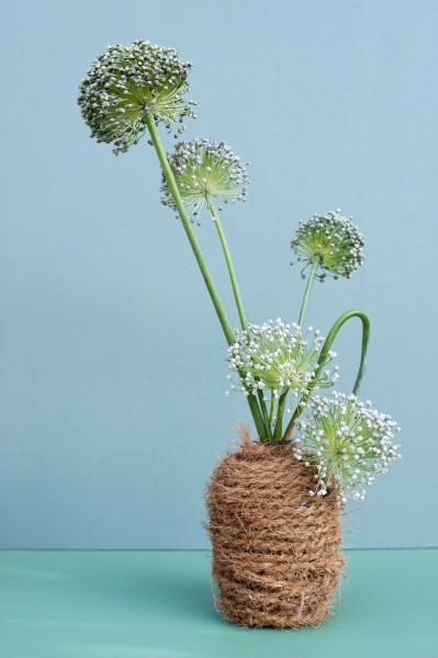 allium flowers blooming in diy vase