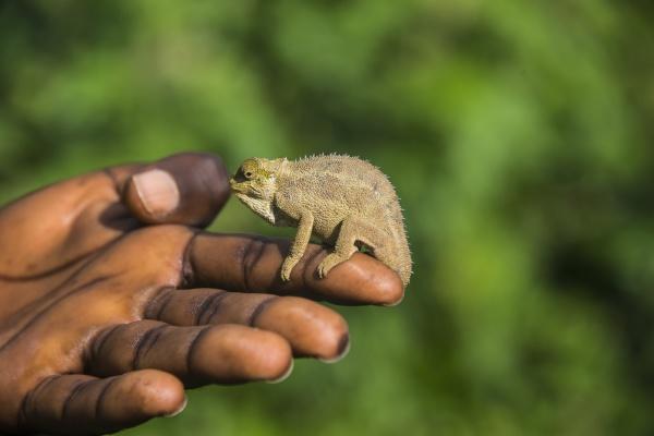 rwanda virunga national park trioceros ellioti