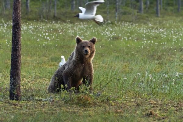 finland kuhmo brown bear