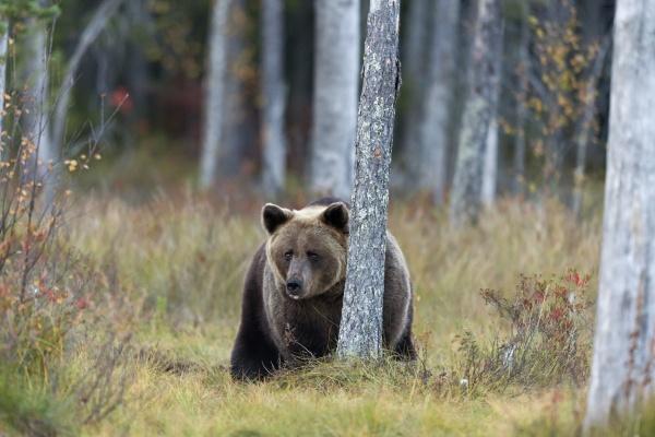 finland kuhmo kainuu male brown bear