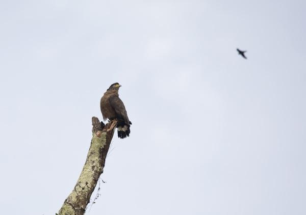 borneo spilornis cheela crested serpent eagle