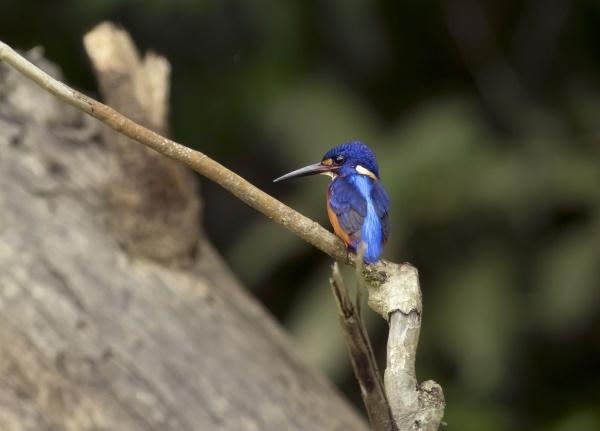 borneo alcedo meninting blue eared kingfisher