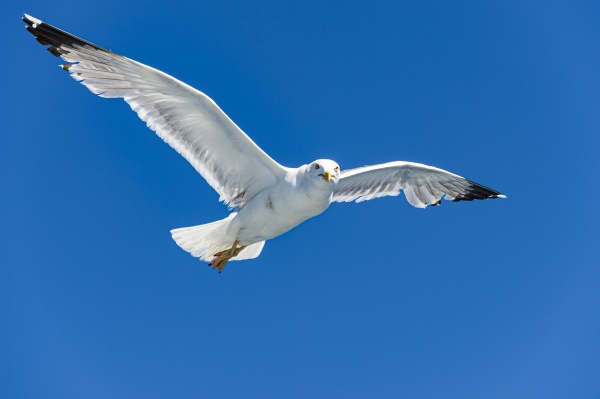 seagull flying against clear blue sky