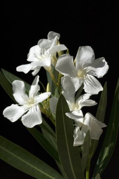 oleander nerium weisse giftpflanze