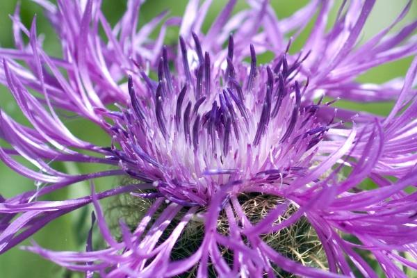 peruecken flockenblume centaurea pseudophrygia