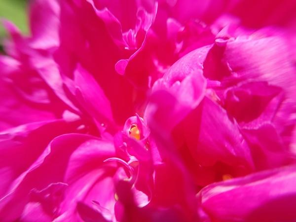 pfingstrose paeonia blutrose gichtrose