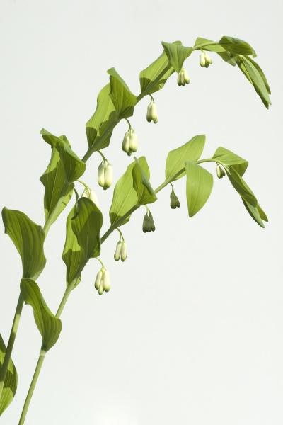 salomonsiegel polygonatum odoratum