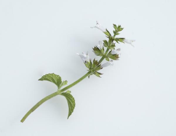 salbei salvia namaensis heilpflanzen
