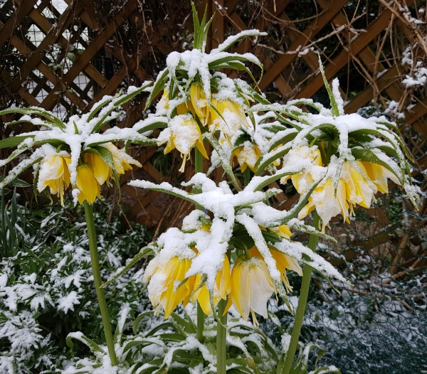 kaiserkrone fritillaria verticillata schnee