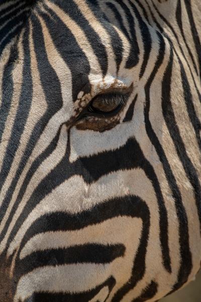 close up of plains zebra eye