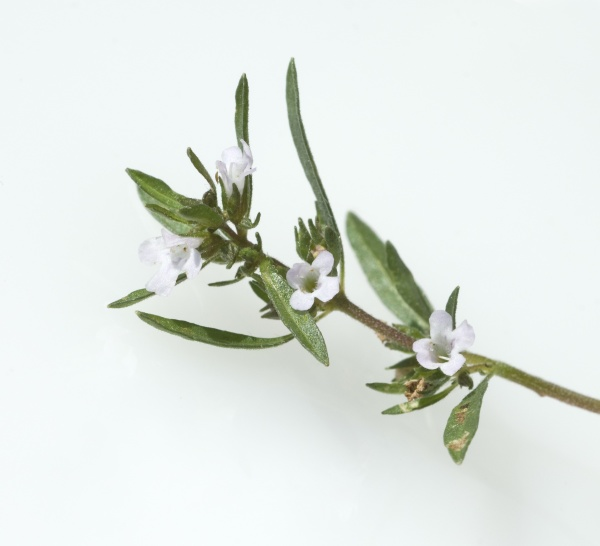sommer bohnenkraut satureja hortensis