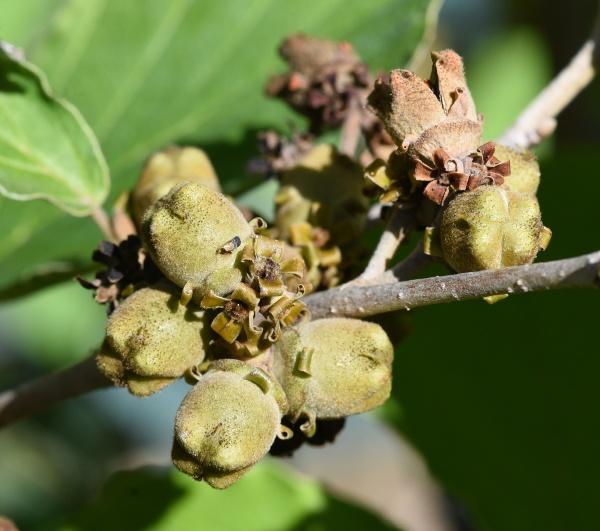 zaubernuss hamamelis japonica