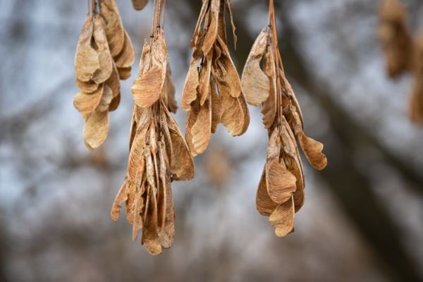 selective focus shot of dried maple